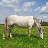 Cavallo su un pascolo estivo — Foto Stock