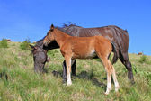 Foal with a mare on a summer pasture — Stock Photo