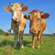 Stock Photo: Cows on a summer pasture.