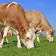 The calf near mother on a summer pasture. — Stock Photo #16496215