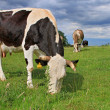 Cow on a summer pasture - Lizenzfreies Foto