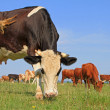Cows on a summer pasture. — Stock Photo #16496263