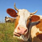 Cabeza de vaca contra un pasto — Foto de Stock