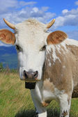 The calf on a summer mountain pasture. — Stock Photo