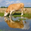 Foto Stock: Cow on summer pasture