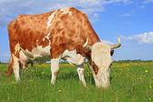 Kuh auf einer weide sommer — Stockfoto