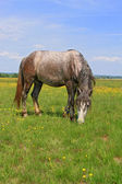 Horse on a summer pasture — Foto Stock
