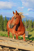 Horse on a summer mountain pasture — Photo