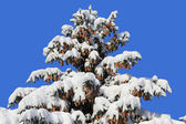 Fir with cones under snow — Стоковое фото