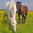 Horses on summer pasture — Stock Photo #18071267