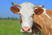 Head of a cow against a pasture — Fotografia Stock