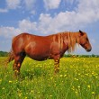 Stock Photo: Horse on a summer pasture