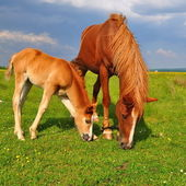 Foal with a mare on a summer pasture — Zdjęcie stockowe