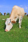 La vaca en un potrero de verano — Foto de Stock
