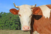 牧草地と牛の頭 — ストック写真