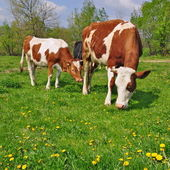 The calf near mother on a summer pasture. — Stock Photo