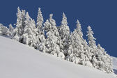 Firs under snow — Stock Photo