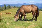 Cavalos em pastagens de montanha um verão — Foto Stock