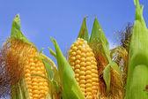Joven mazorcas de maíz contra el cielo — Foto de Stock