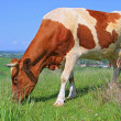 Cow on a summer pasture — Foto Stock