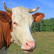 Head of a cow against a pasture — Photo