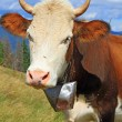 Stock Photo: Cow on summer mountain pasture