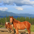 Horses on a summer mountain pasture — Stockfoto