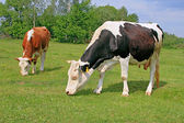 Cows on a summer pasture — Foto Stock