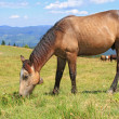 Horse on a summer mountain pasture — Stock Photo #19400383