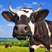 Vache sur un pâturage d'été. — Photo
