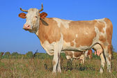 Cow on a summer pasture — Photo