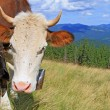 Cow on a summer mountain pasture — ストック写真