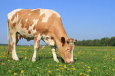 Cow on a summer pasture — Stok fotoğraf