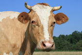Head of a cow against a pasture — Стоковое фото