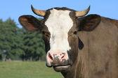 глава коровы против пастбище — Стоковое фото
