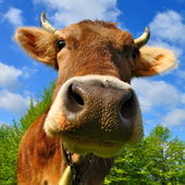 Head of a cow against the sky — Stock Photo
