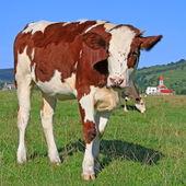 теленка на летние пастбища — Стоковое фото