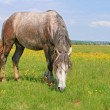 Horse on a summer pasture — Stock Photo #20121487