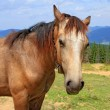 Horse on a summer mountain pasture — Stock Photo #20121611