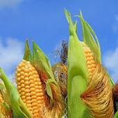 Jovens espigas de milho contra o céu — Foto Stock