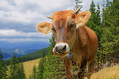The calf on a summer mountain pasture — Foto Stock