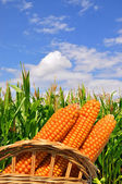 Corn ears in a basket against a field — Stock Photo