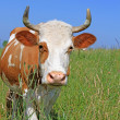Cow on a summer pasture - Foto de Stock