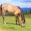 Horse on a summer mountain pasture — Foto Stock