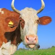 Head of a cow against a pasture - Foto de Stock