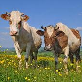 Vacche su un pascolo estivo — Foto Stock