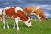 夏放牧子牛 — ストック写真