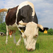 Cow on a summer pasture — Stockfoto