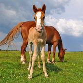 夏季牧场上的一匹母马与马驹 — 图库照片