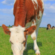The calf on a summer pasture - Photo
